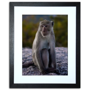 Macaque Monkey Framed Print